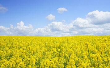 Problemy dla upraw jakie przynosi śnieć cuchnąca