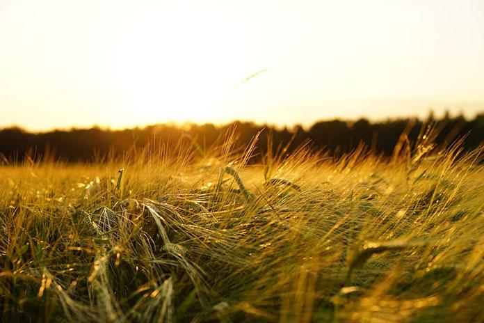 zrujnowaniu upraw przez śnieć cuchnącą